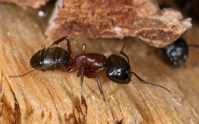 Beyond Termites: More Wood-Destroying Insects That Can Damage Your Home